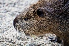 Coypu semi aquatic rodent close up Royalty Free Stock Photos
