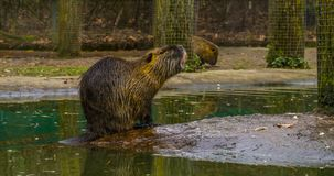 Coypu sitting at the water side, semi aquatic rodent from south America. A coypu sitting at the water side, semi aquatic rodent from south America royalty free stock photos