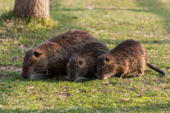 Coypu. Small coypus eat with his mother Stock Photo