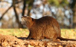 Coypu sniffing Royalty Free Stock Images