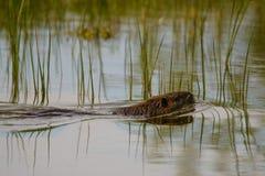 Coypu som svävar i vattnet fotografering för bildbyråer