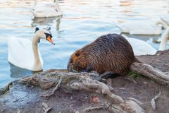 Coypu and swan in wild nature. Brown coypu  eating green grass on shore of river near roots of tree on backround of water near white swan, close up royalty free stock photo