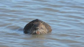 Coypu stock footage
