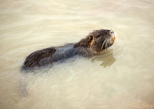 Coypu swimming in the water Royalty Free Stock Photography