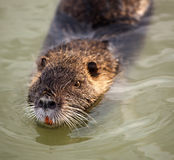 Coypu swimming in the water Stock Photos