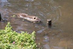 Coypu swimming in water river rat in natural habitat. Myocastor coypus coypu swimming in water river rat in natural habitat stock photography