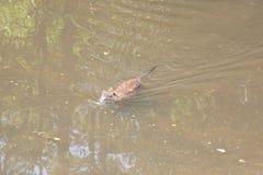 Coypu swimming in water river rat in natural habitat. One coypu swimming in the water river rat nutria Myocastor coypus stock images