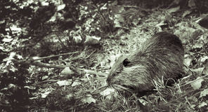 Coypu in tree leaves falling to the ground in autumn Royalty Free Stock Photos