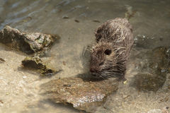 Coypu in water Royalty Free Stock Photos