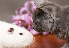 Coypu white and gray kitten looking at each other Royalty Free Stock Photo