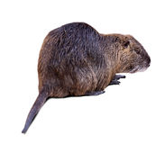 Coypu on white  with shade Stock Photos
