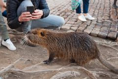 Brown coypu in wild nature and people. Tourists take photos of brown coypu on shore of river, close up royalty free stock photos