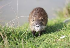 Coypu. Young coypu on the banks of the pond royalty free stock photos