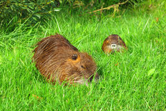 Coypu with young Royalty Free Stock Photography