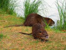 Coypu with young Stock Images