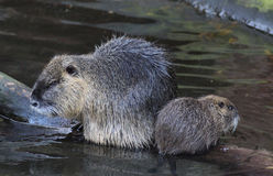 Coypu with young Stock Image