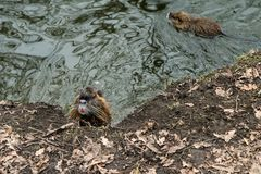 Coypus από το νερό στην Πράγα στοκ φωτογραφίες