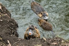 Coypus από το νερό στην Πράγα στοκ φωτογραφίες με δικαίωμα ελεύθερης χρήσης