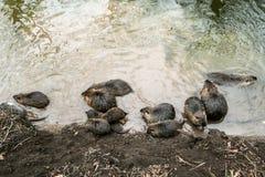 Coypus από το νερό στην Πράγα στοκ εικόνες