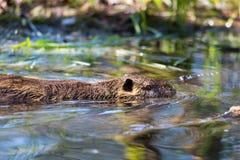 Coypus de um myocastor do coypu do nutria que nadam na água Imagem de Stock