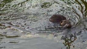 Coypus del myocastor de Nutria, cara que se lava de la rata de castor en roca de la orilla del agua almacen de video