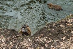 Coypus door het water in Praag stock foto's