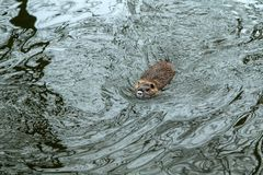 Coypus door het water in Praag royalty-vrije stock fotografie