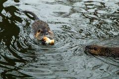 Coypus door het water in Praag royalty-vrije stock foto's
