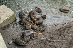 Coypus door het water in Praag stock foto