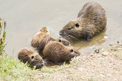 Coypus family. Family of Coypus searching food on the bank of a river. Location St Aygulf, France, French Riviera Royalty Free Stock Images
