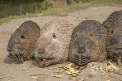 Coypus royalty free stock photography