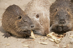 Coypus Stock Photography