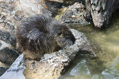 Coypus resting on the rocks Royalty Free Stock Photos