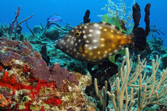 cozumel鳞鲆科鱼墨西哥被察觉的白色 免版税库存照片