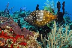 cozumel filefish Mexico łaciasty biel Zdjęcia Royalty Free