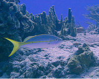 Cozumel fish. Yellow tail fish swimming along the reef Royalty Free Stock Images