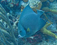 Cozumel fish. Blue fish feeding amongst the coral Stock Photography