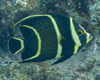 Cozumel fish. Black and yellow striped fish Stock Photo