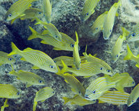Cozumel fish school. A school of yellow fish Royalty Free Stock Photos