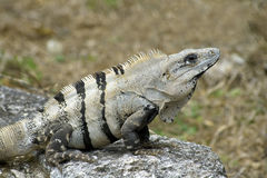 Cozumel Iguana on Rock Perch. Photo of an iguana perched atop the corner of a rock ledge taken at San Gervasio ruins site on island of Cozumel in Mexico stock photography
