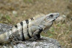 Cozumel Iguana on Rock Perch Stock Photography