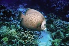 cozumel Mexique d'angelfish Photos stock