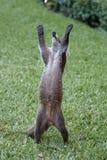 Cozumel raccoon seaking for food Stock Photography