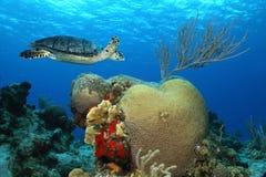 cozumelhawksbillmexico sköldpadda Fotografering för Bildbyråer