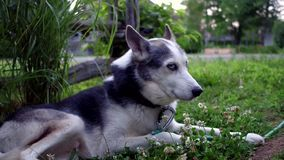 Happy husky dog at home. Cozy Alaskan Husky dog surrounded by clover flowers is enjoying life at home in a suburban environment with an old fence in the stock video footage