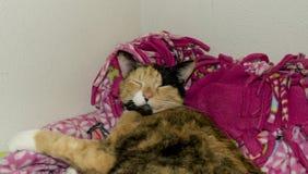 Cozy Calico Kitty Stock Photo