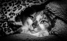 Cozy Cat (b&w) Stock Photos