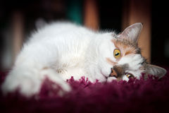Cozy cat lies on red carpet Royalty Free Stock Photo