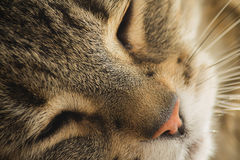 Cozy cat sleeping and daydreaming lazy cat.  Pink nose and healt Royalty Free Stock Photo