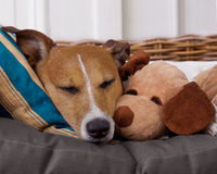 Cozy  dog in bed with teddy bear Royalty Free Stock Images